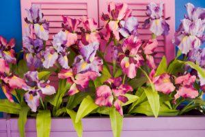 Le encantan las flores? Entonces si se pierde de ver la floración puertorriqueñas hermosa