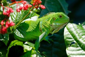 Lizards Live the Lush Life in Puerto Rico!